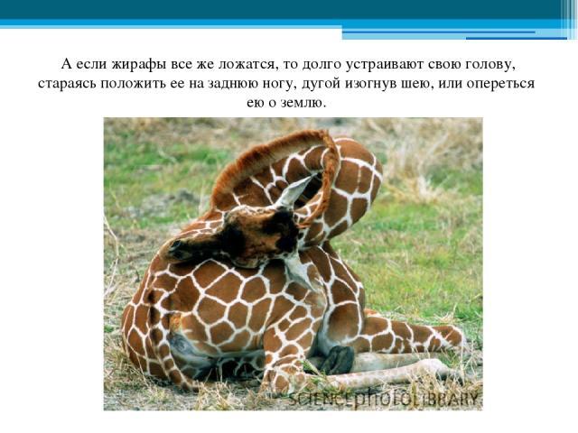 А если жирафы все же ложатся, то долго устраивают свою голову, стараясь положить ее на заднюю ногу, дугой изогнув шею, или опереться ею о землю.