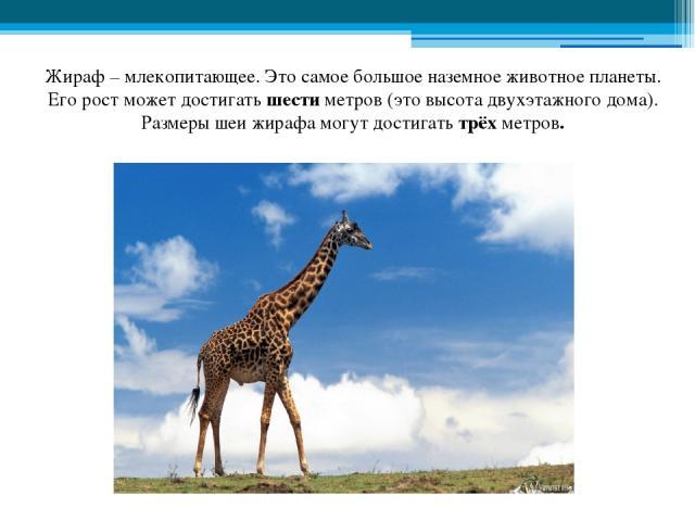 Жираф – млекопитающее. Это самое большое наземное животное планеты. Его рост может достигать шести метров (это высота двухэтажного дома). Размеры шеи жирафа могут достигать трёх метров.