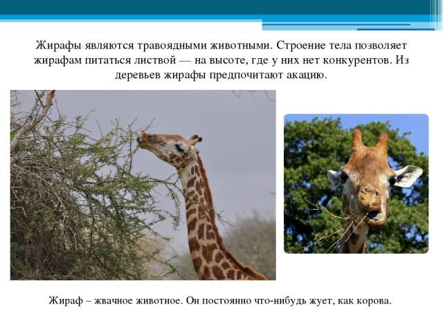 Жирафы являются травоядными животными. Строение тела позволяет жирафам питаться листвой — на высоте, где у них нет конкурентов. Из деревьев жирафы предпочитают акацию. Жираф – жвачное животное. Он постоянно что-нибудь жует, как корова.