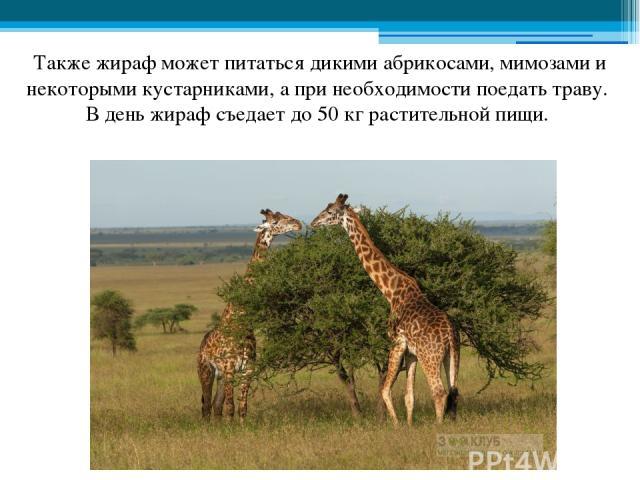 Также жираф может питаться дикими абрикосами, мимозами и некоторыми кустарниками, а при необходимости поедать траву. В день жираф съедает до 50 кг растительной пищи.