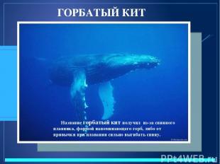 ГОРБАТЫЙ КИТ Название горбатый кит получил из-за спинного плавника, формой напом