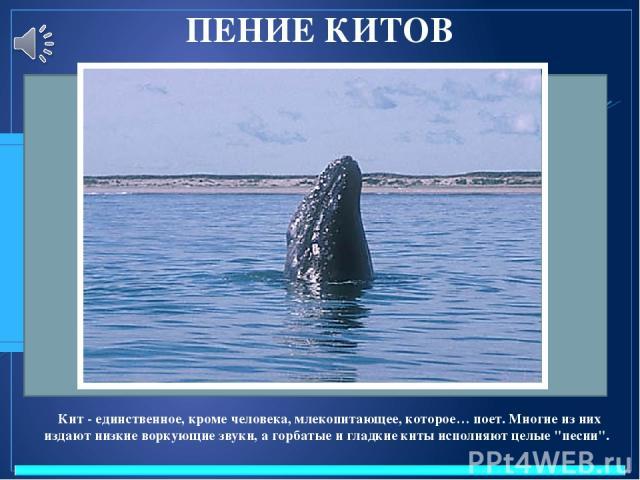 ПЕНИЕ КИТОВ Кит - единственное, кроме человека, млекопитающее, которое… поет. Многие из них издают низкие воркующие звуки, а горбатые и гладкие киты исполняют целые