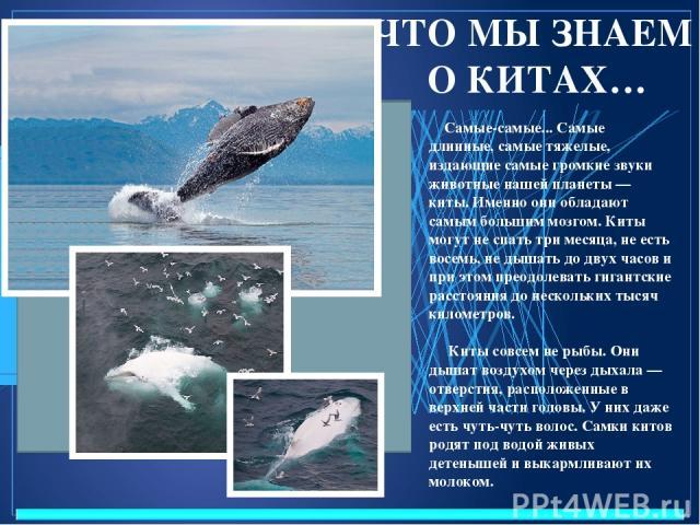 ЧТО МЫ ЗНАЕМ О КИТАХ… Самые-самые... Самые длинные, самые тяжелые, издающие самые громкие звуки животные нашей планеты — киты. Именно они обладают самым большим мозгом. Киты могут не спать три месяца, не есть восемь, не дышать до двух часов и при эт…