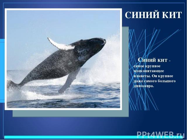 СИНИЙ КИТ Синий кит - самое крупное млекопитающее планеты. Он крупнее даже самого большого динозавра.