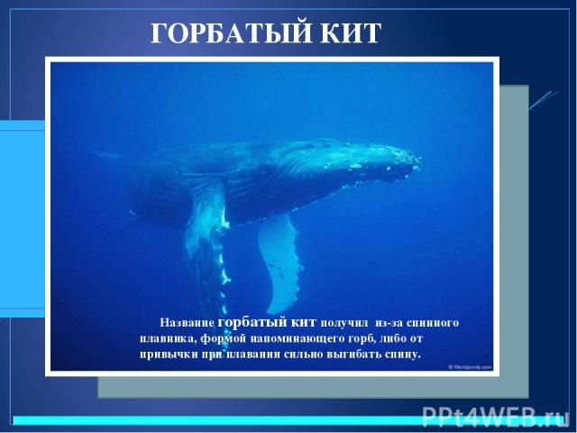 ГОРБАТЫЙ КИТ Название горбатый кит получил из-за спинного плавника, формой напоминающего горб, либо от привычки при плавании сильно выгибать спину.