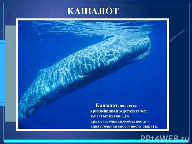 КАШАЛОТ Название горбатый кит получил из-за спинного плавника, формой напоминающего горб, либо от привычки при плавании сильно выгибать спину. Кашалот, является крупнейшим представителем зубастых китов. Его примечательная особенность - удивительная …