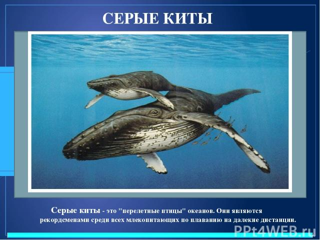 СЕРЫЕ КИТЫ Серые киты - это
