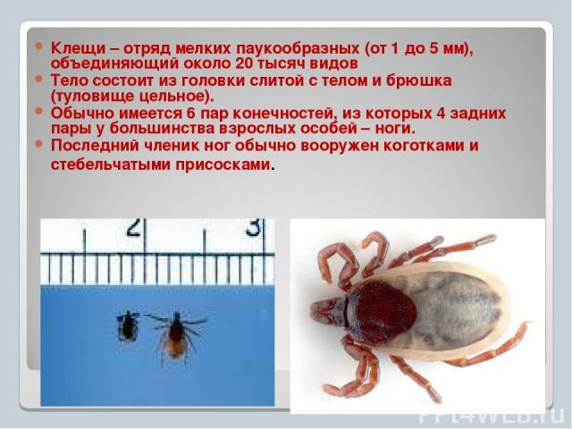 Клещи – отряд мелких паукообразных (от 1 до 5 мм), объединяющий около 20 тысяч видов Тело состоит из головки слитой с телом и брюшка (туловище цельное). Обычно имеется 6 пар конечностей, из которых 4 задних пары у большинства взрослых особей – ноги.…