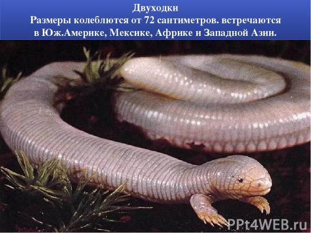 Двуходки Размеры колеблются от 72 сантиметров. встречаются вЮж.Америке, Мексике, Африкеи ЗападнойАзии.