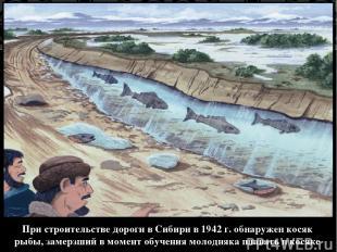 При строительстве дороги в Сибири в 1942 г. обнаружен косяк рыбы, замерзший в мо