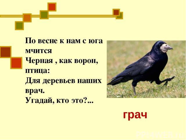 По весне к нам с юга мчится Черная , как ворон, птица: Для деревьев наших врач. Угадай, кто это?... грач