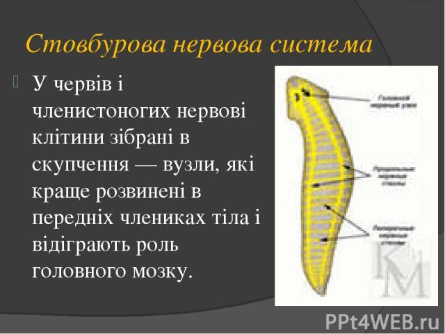 Стовбурова нервова система У червів і членистоногих нервові клітини зібрані в скупчення — вузли, які краще розвинені в передніх члениках тіла і відіграють роль головного мозку.