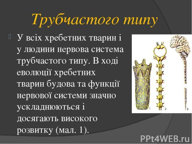 Трубчастого типу У всіх хребетних тварин і у людини нервова система трубчастого типу. В ході еволюції хребетних тварин будова та функції нервової системи значно ускладнюються і досягають високого розвитку (мал. 1).