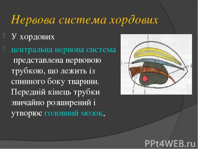 Нервова система хордових У хордових центральна нервова системапредставлена нервовою трубкою, що лежить із спинного боку тварини. Передній кінець трубки звичайно розширений і утворюєголовний мозок,