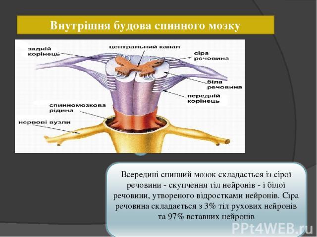 Внутрішня будова спинного мозку 1 4 3 5 2 6