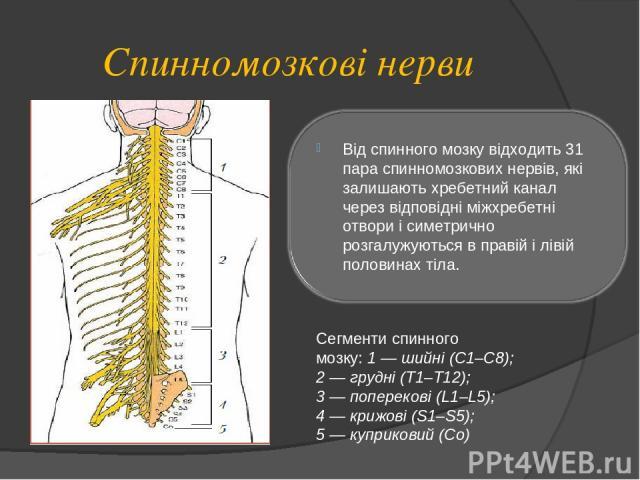 Спинномозкові нерви Сегменти спинного мозку: 1 — шийні (С1–С8); 2 — грудні (Т1–Т12); 3 — поперекові (L1–L5); 4 — крижові (S1–S5); 5 — куприковий (Со)