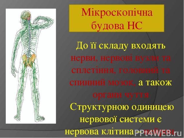 Мікроскопічна будова НС До її складу входять нерви, нервові вузли та сплетіння, головний та спинний мозок, а також органи чуття Структурною одиницею нервової системи є нервова клітина – нейрон.