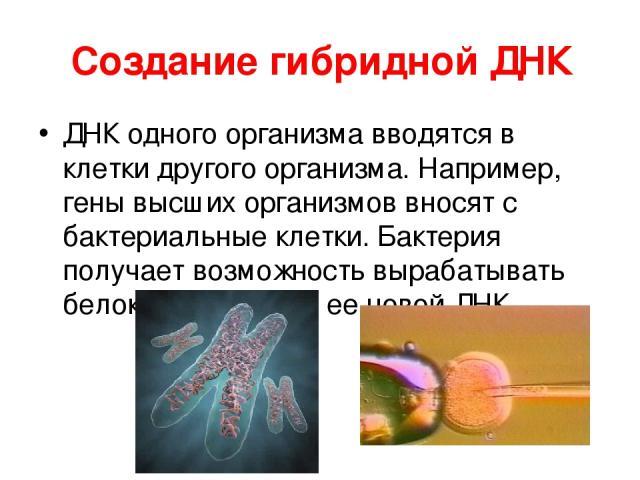 Создание гибридной ДНК ДНК одного организма вводятся в клетки другого организма. Например, гены высших организмов вносят с бактериальные клетки. Бактерия получает возможность вырабатывать белок, кодируемый ее новой ДНК