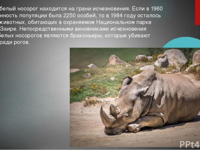 Северный белый носорог находится на грани исчезновения. Если в 1960 году численность популяции была 2250 особей, то в 1984 году осталось только 15 животных, обитающих в охраняемом Национальном парке Гарамба в Заире. Непосредственными виновниками исч…