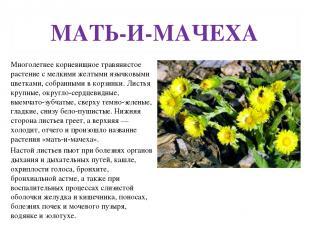 МАТЬ-И-МАЧЕХА Многолетнее корневищное травянистое растение с мелкими желтыми язы