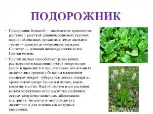 ПОДОРОЖНИК Подорожник большой — многолетнее травянистое растение с розеткой длин
