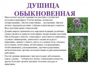 ДУШИЦА ОБЫКНОВЕННАЯ Многолетнее пахучее травянистое растение с ветвистым ползучи