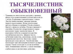 ТЫСЯЧЕЛИСТНИК ОБЫКНОВЕННЫЙ Травянистое многолетнее растение с прямым, вверху чут