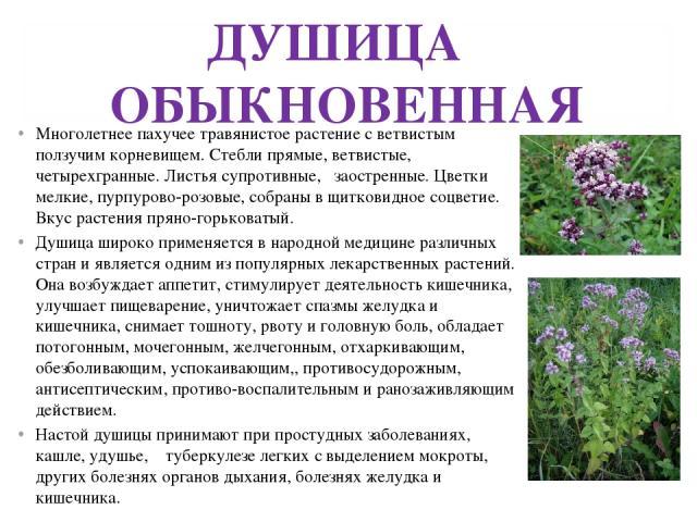 ДУШИЦА ОБЫКНОВЕННАЯ Многолетнее пахучее травянистое растение с ветвистым ползучим корневищем. Стебли прямые, ветвистые, четырехгранные. Листья супротивные, заостренные. Цветки мелкие, пурпурово-розовые, собраны в щитковидное соцветие. Вкус растения …