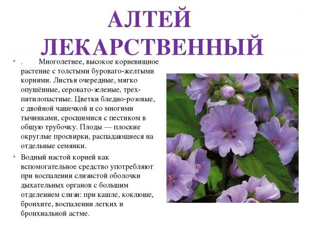 АЛТЕЙ ЛЕКАРСТВЕННЫЙ . Многолетнее, высокое корневищное растение с толстыми буровато-желтыми корнями. Листья очередные, мягко опушённые, серовато-зеленые, трех-пятилопастные. Цветки бледно-розовые, с двойной чашечкой и со многими тычинками, сросшимис…