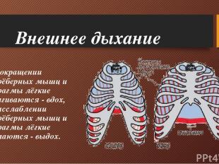 Внешнее дыхание При сокращении межрёберных мышц и диафрагмы лёгкие растягиваются