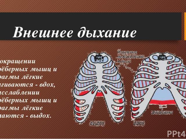 Внешнее дыхание При сокращении межрёберных мышц и диафрагмы лёгкие растягиваются - вдох, при расслаблении межрёберных мышц и диафрагмы лёгкие сжимаются - выдох.