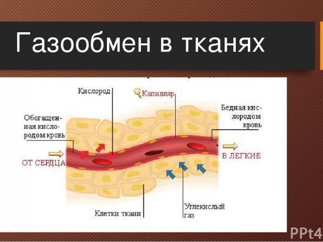 Газообмен в тканях