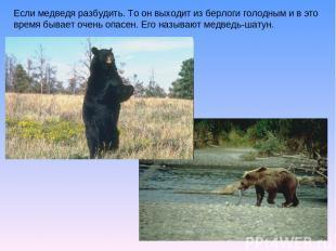 Если медведя разбудить. То он выходит из берлоги голодным и в это время бывает о