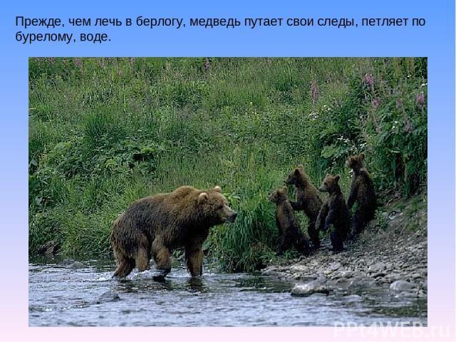 Прежде, чем лечь в берлогу, медведь путает свои следы, петляет по бурелому, воде.