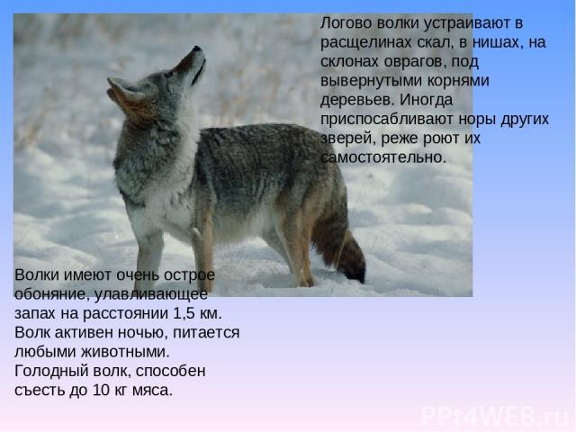 Логово волки устраивают в расщелинах скал, в нишах, на склонах оврагов, под вывернутыми корнями деревьев. Иногда приспосабливают норы других зверей, реже роют их самостоятельно. Волки имеют очень острое обоняние, улавливающее запах на расстоянии 1,5…