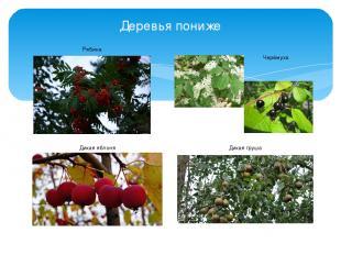 Деревья пониже Рябина Дикая яблоня Дикая груша Черёмуха