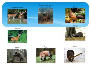 Животные широколиственных лесов Благородный олень (марал, изюбр) Косуля Пятнисты