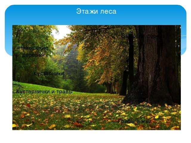 Этажи леса Невысокие деревья Высокие деревья Кустарники Грибы и мхи Кустарнички и травы