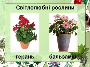 Світлолюбні рослини герань бальзамін