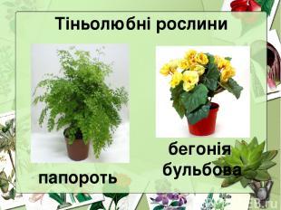 Тіньолюбні рослини папороть бегонія бульбова