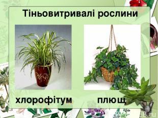Тіньовитривалі рослини хлорофітум плющ