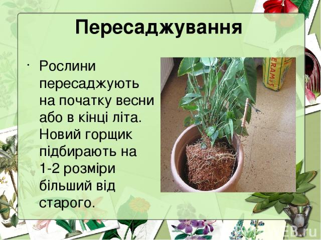 Пересаджування Рослини пересаджують на початку весни або в кінці літа. Новий горщик підбирають на 1-2 розміри більший від старого.