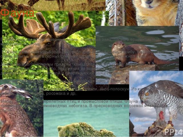 Фауна В зоне тундр водятся северный олень, полярный заяц, песец и оригинальный мускусный овцебык. Южнее животный мир более разнообразен лесной олень карибу, благородный олень вапити, лось, в горных районах баран толсторог и снежная коза. Довольно …