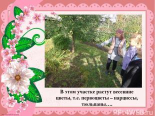 В этом участке растут весенние цветы, т.е. первоцветы – нарциссы, тюльпаны…. В э