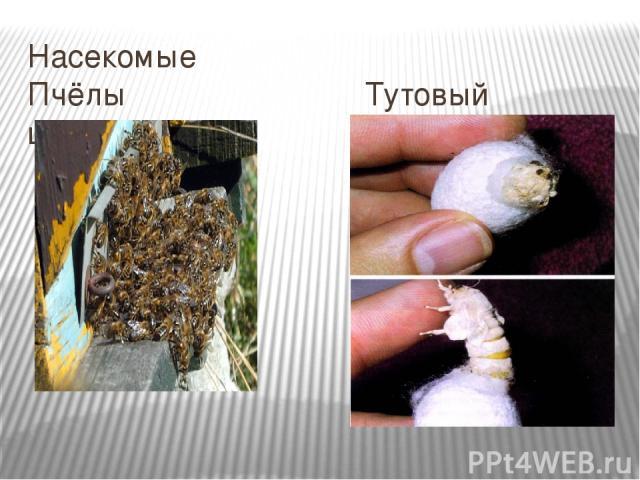 Насекомые Пчёлы Тутовый шелкопряд