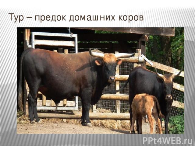 Тур – предок домашних коров