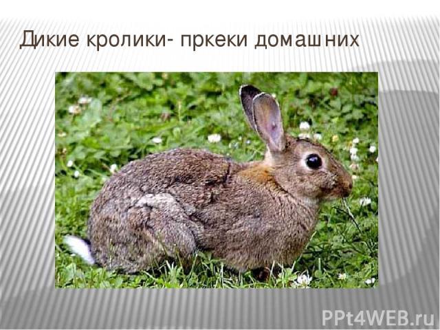 Дикие кролики- пркеки домашних