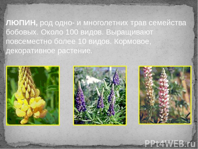 ЛЮПИН, род одно- и многолетних трав семейства бобовых. Около 100 видов. Выращивают повсеместно более 10 видов. Кормовое, декоративное растение.