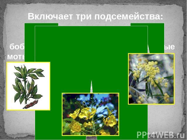 Включает три подсемейства: бобовые или мимозовые мотыльковые цезальпиниевые