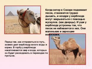 Перед тем, как отправиться в путь, хозяин дает верблюду много воды и корма. В го